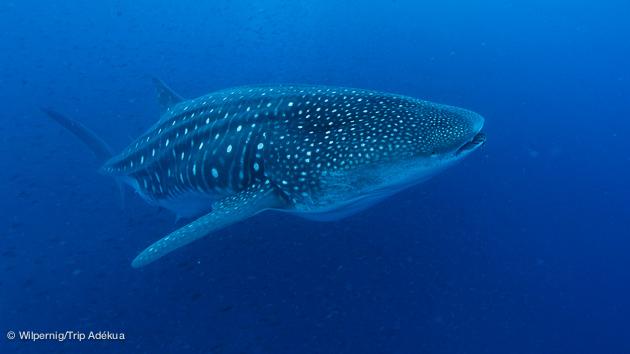 requin baleine pendant votre croisière plongée luxe aux Galapagos