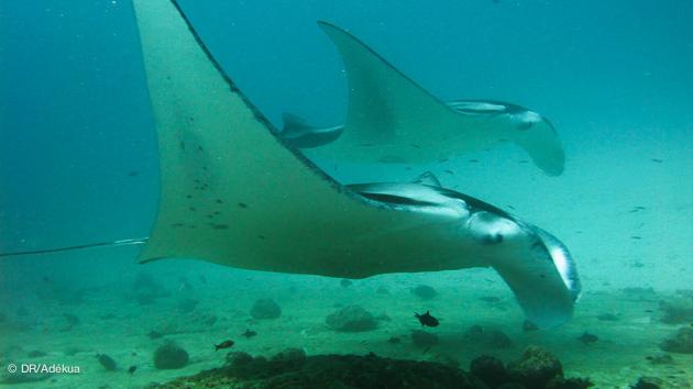 Croisière plongée aux Maldives en mars 2017 à la découvertes des espèces pélagiques, avec Sébastien et Trip Adékua