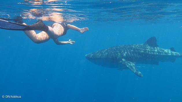 nager avec un requin baleine