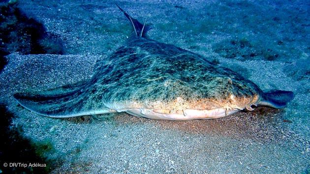 requin ange à Lanzarote pour vos vacances aux Canaries