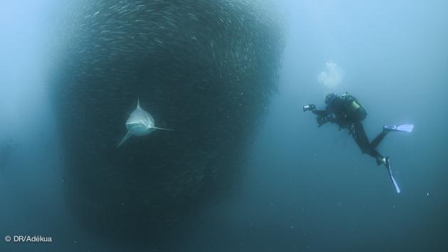 plongée à sensation pendant les sardine runs en Afrique du sud