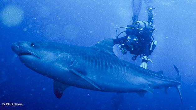 plongée avec les requins tigre en Afrique du Sud
