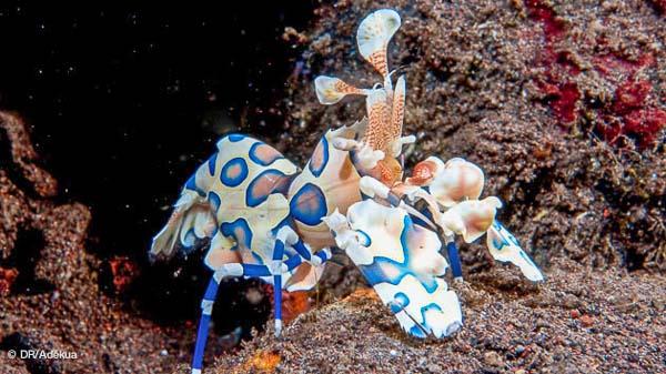 magnifiques crevettes multicolores à Bali