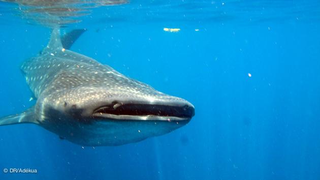 Séjour plongée à la rencontre des requins baleines