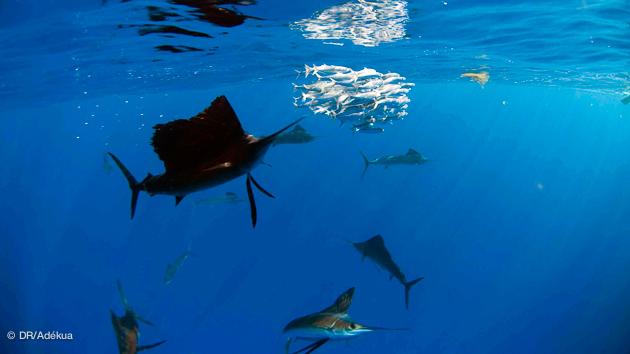 l'animal marin le plus rapide au monde est au Mexique