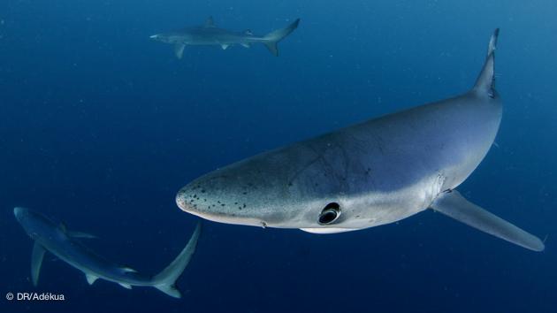 belles plongées avec les requins en Afrique du Sud