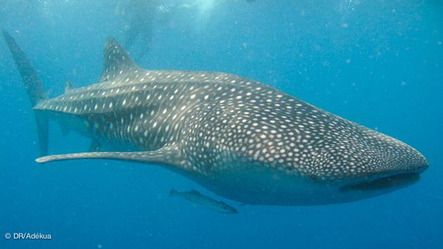 belle rencontre avec un requin baleine pendant votre plongée aux Maldives