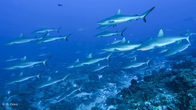 joli mur de requins en Polynésie