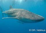 Votre croisière plongée part en quête du plus gros poisson au monde - voyages adékua
