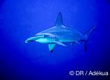 Rencontres en mer Rouge avec les requins marteaux - voyages adékua