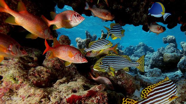 Admirez une grande variété d'espèces dans les passes des Maldives