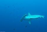 Des plongées à sensation aux Galapagos - voyages adékua