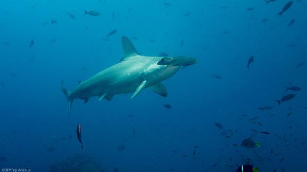 Plongez avec les requins marteaux aux Galapagos