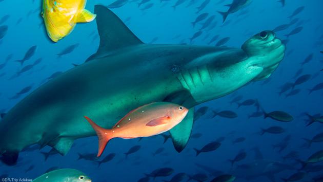 Des plongées inoubliables avec les requins marteaux aux Galapagos