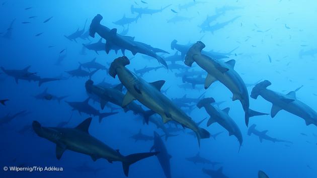Incroyables requins marteau aux Galapagos