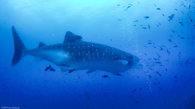 Baleines, requins et toutes les plus belles espèces marines des Galapagos