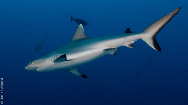Rencontre de requin à prévoir lors de votre croisière plongée !