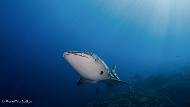 voir des requins baleine aux Philippines