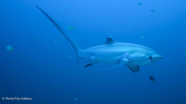 requin renard pendant votre croisière plongée aux Philippines