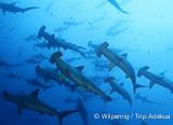 10 jours d'exception à bord d'une croisière plongée aux Galapagos - voyages adékua