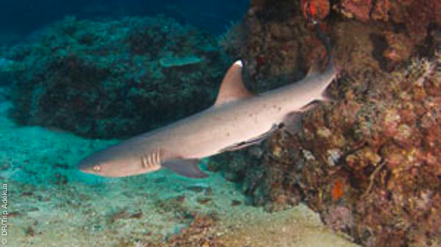 Requins, raies mantas, barracudas dans les magnifiques fonds du Pacifique sud