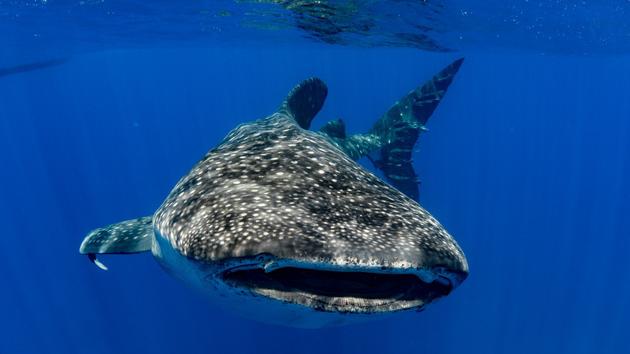 Votre séjour plongée à la rencontre des requins baleines en Atlantique Sud