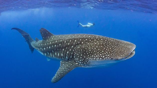 Nagez avec les majestueux requins baleines en Atlantique Sud
