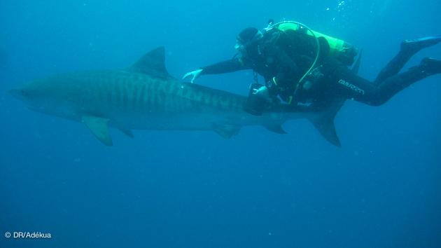 des rencontres inoubliables avec les gros requins d'afrique du sud