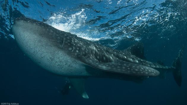 Immersions avec les baleines dans les fonds marins de Tofo au Mozambique