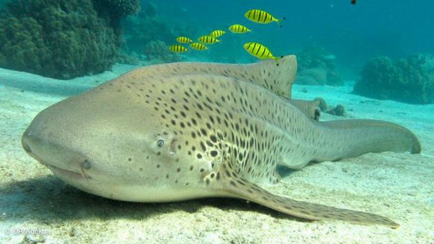 Petit requin léopard à Nosy Be pendant vos plongées à Madagascar