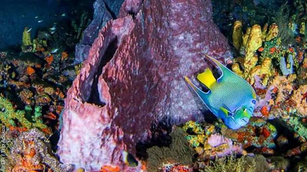 Une faune sous marine riche, poissons colorés, raie manta ou requins, visibles sur les sites de plongée au départ de Speyside à Tobago