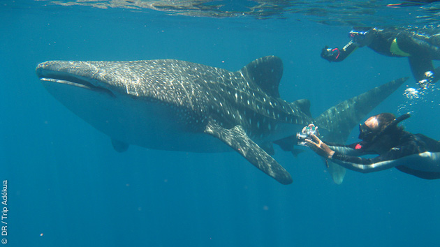 requin baleine dans le canal du Mozambique