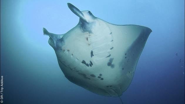 Raies mantas, requins, ou hippocampes pygmées, un formidable séjour plongée en Papouasie Nouvelle Guinée