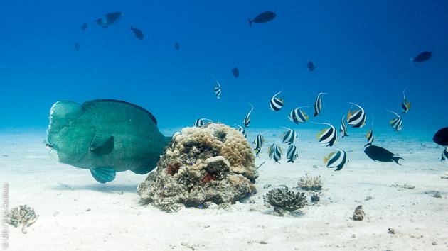 faune sous marine des Seychelles en Océan Indien