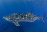 Rencontres avec les requins baleines dans l'Atlantique Sud - voyages adékua