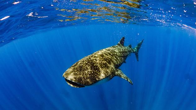 Plongez avec les requins-baleines dans les eaux de Sainte-Hélène