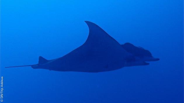 Rencontres majestueuses sous les eaux de l'Atlantique pendant votre séjour plongée au Cap Vert