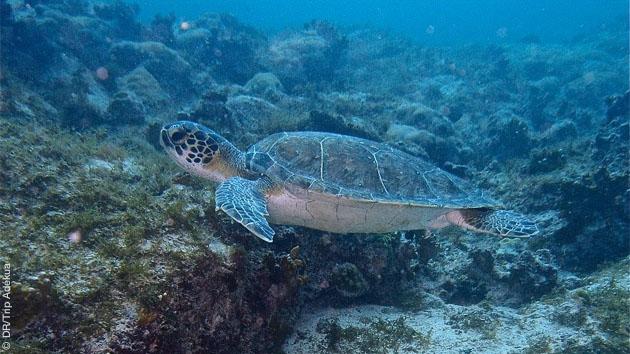 tortues marines au Cap Vert