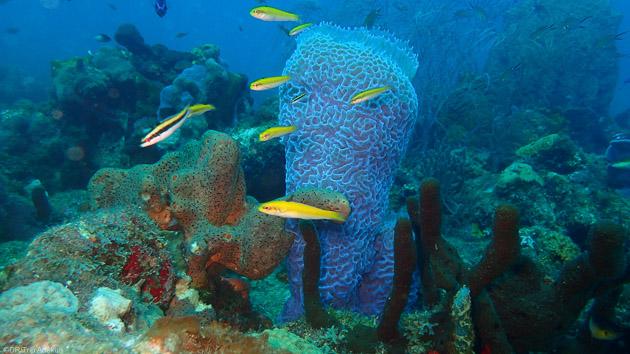 Découvrez les plus belles espèces sous-marines de la Dominique