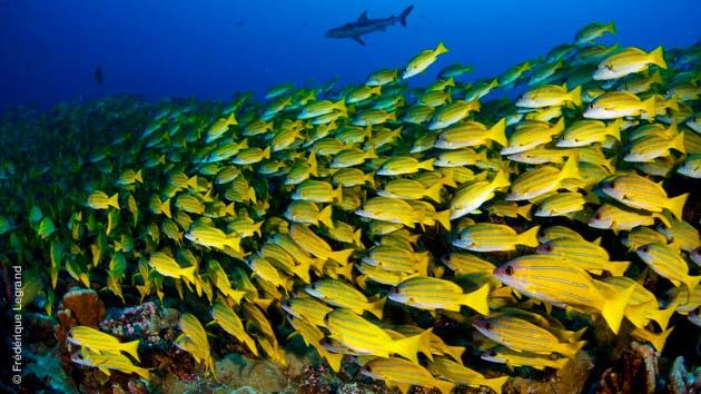 Pour tous les niveaux de plongeurs, ce séjour permet de belles rencontres : requins, raies, et poissons multicolores
