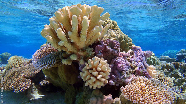 Découvrez les plus beaux coraux de Polynésie