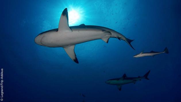 Des rencontres sous-marines saisissantes pendant ces vacances plongée entre Tahiti, Mooréa et Rangiroa