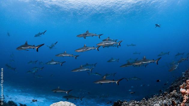 Plongée dans les passes de Rangiroa, pour voir les requins, et les poissons colorés de l'archipel des Tuamotu