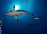 Un package de 18 plongées pour découvrir le meilleur de la Polynésie - voyages adékua