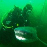 du gros, du solide requin dans les eaux sud-africaines