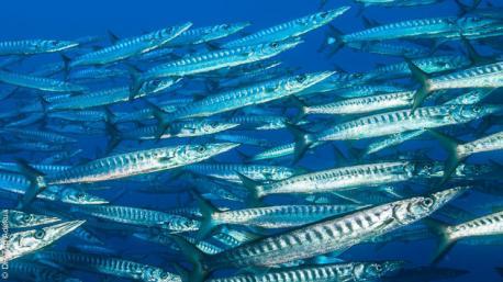 Rencontres de barracudas lors de vos plongées en Méditerranée