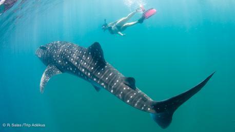 Nager et plonger avec les requins baleine en mer de Cortez