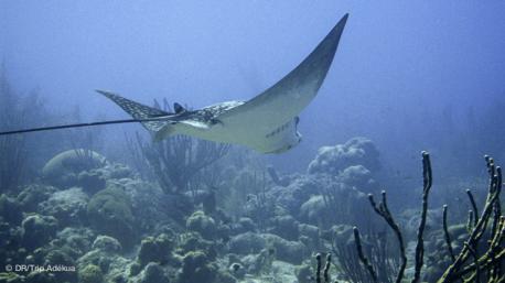 une raie manta pendant votre plongée au Panama côté Caraibes