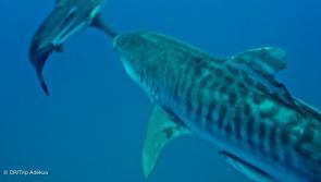 requin tigre pendant votre safari plongée en Afrique du sud