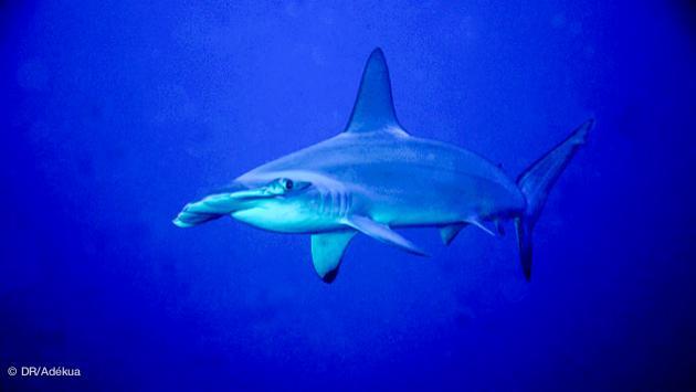 rencontre avec un requin marteau pendant votre plongée au Soudan